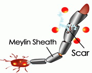 myelin3